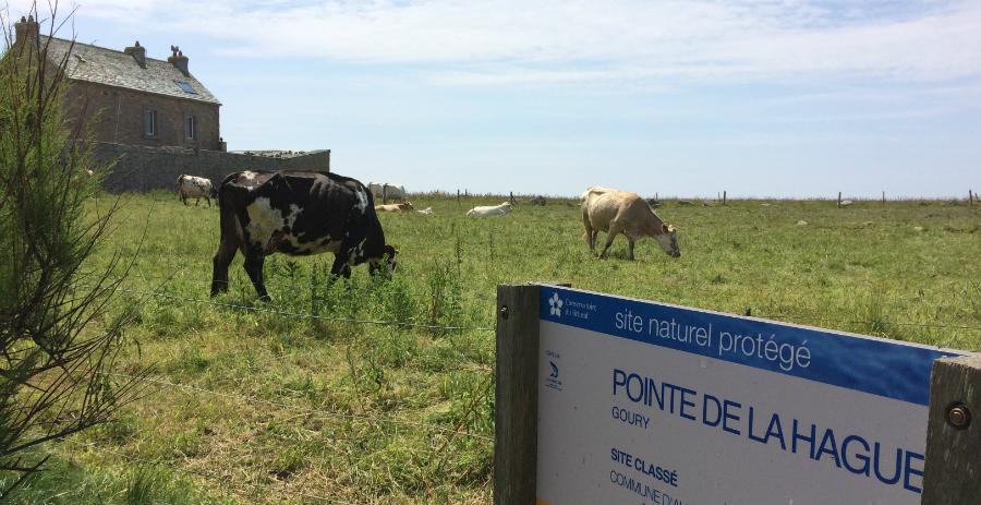 La Hague vaches