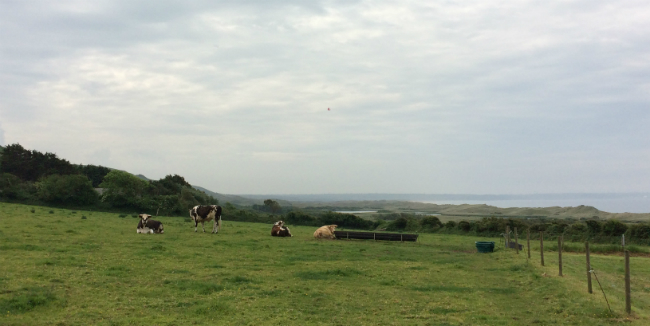 Vauville vaches