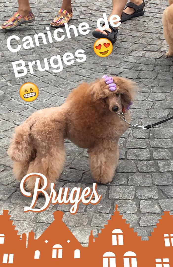 Bruges caniche