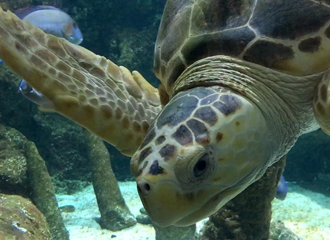 Aquarium La rochelle tortue